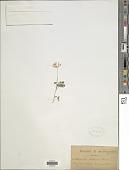 view Astragalus lotoides Lam. digital asset number 1