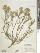 view Astragalus pattersonii (A. Gray) A. Gray digital asset number 1