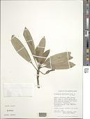 view Clermontia parviflora digital asset number 1