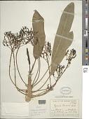 view Cyanea coriacea (A. Gray) Hillebr. digital asset number 1