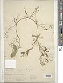 view Alsomitra sarcophylla Hook. f. digital asset number 1