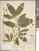 view Psiguria triphylla (Miq.) C. Jeffrey digital asset number 1