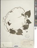 view Zehneria mucronata (Blume) Miq. digital asset number 1