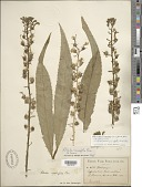 view Lobelia cirsiifolia Lam. digital asset number 1