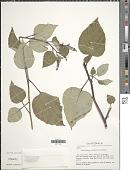 view Centropogon cordifolius Benth. digital asset number 1
