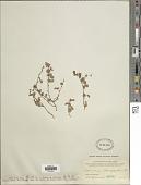 view Desmodium heterophyllum DC. digital asset number 1