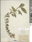 view Burmeistera microphylla Donn. Sm. digital asset number 1