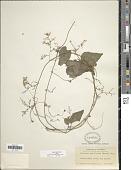 view Sicydium tamnifolium (Kunth) Cogn. digital asset number 1