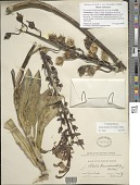 view Lobelia x kauaensis (A. Gray) A. Heller digital asset number 1