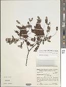 view Dalbergia nigra (Vell.) Allemão ex Benth. digital asset number 1