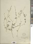 view Desmodium scorpiurus (Sw.) Desv. digital asset number 1