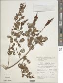 view Desmodium heterocarpon var. strigosum Meeuwen digital asset number 1