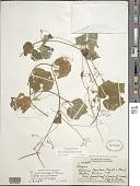view Sicyos pachycarpus Hook. & Arn. digital asset number 1