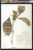 view Besleria insolita C.V. Morton digital asset number 1
