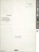 view Anacystis cyanea digital asset number 1
