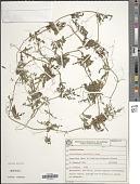 view Cyclanthera tenuifolia Cogn. digital asset number 1
