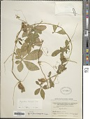 view Cyclanthera tenuisepala Cogn. digital asset number 1