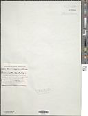 view Johannesbaptistia pellucida digital asset number 1