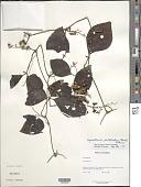view Gynostemma pentaphyllum (Thunb.) Makino digital asset number 1