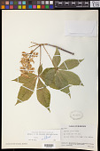 view Aesculus glabra Willd. digital asset number 1
