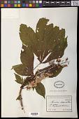 view Aesculus hippocastanum L. digital asset number 1