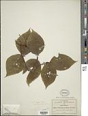 view Viburnum caudatum Greenm. digital asset number 1
