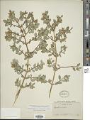 view Symphoricarpos tetonensis A. Nelson digital asset number 1