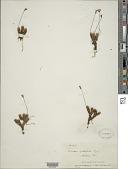 view Forstera sedifolia G. Forst. digital asset number 1