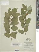 view Symphoricarpos occidentalis (R. Br.) Hook. digital asset number 1