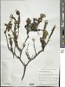 view Valeriana karstenii Briq. digital asset number 1