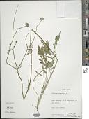 view Scabiosa columbaria L. digital asset number 1