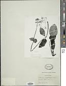 view Valeriana lapathifolia Vahl digital asset number 1