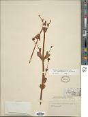 view Plectritis congesta subsp. brachystemon (Fisch. & C.A. Mey.) Morey digital asset number 1