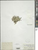 view Pterocephalus afghanicus (Aitch. & Hemsl.) Boiss. digital asset number 1