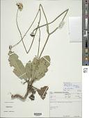view Cephalaria oblongifolia (Kuntze) Szabó digital asset number 1