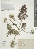 view Centranthus ruber (L.) D.C. digital asset number 1