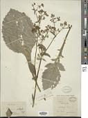 view Patrinia villosa (Thunb.) Dufr. digital asset number 1