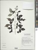 view Vitex negundo var. bicolor digital asset number 1
