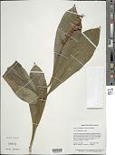view Amasonia campestris (Aubl.) Moldenke digital asset number 1