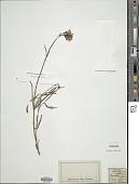 view Valeriana officinalis L. digital asset number 1