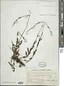 view Valeriana salicariifolia Vahl digital asset number 1