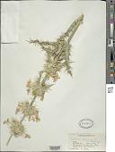 view Morina persica L. digital asset number 1