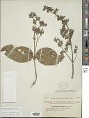 view Symphorema luzonicum (Blanco) Fern.-Vill. digital asset number 1