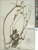 view Knautia dipsacifolia (Host) Kreutzer digital asset number 1