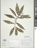 view Callicarpa candicans var. ponapensis Fosberg digital asset number 1