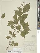 view Premna microphylla Turcz. digital asset number 1