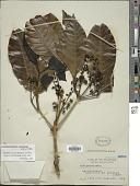 view Teijsmanniodendron ahernianum (Merr.) Bakh. digital asset number 1