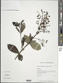 view Clerodendrum myricoides (Hochst.) Vatke digital asset number 1