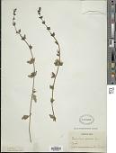 view Teucrium bicolor (Sm.) Raf. digital asset number 1