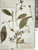 view Clerodendrum indicum (L.) Kuntze digital asset number 1